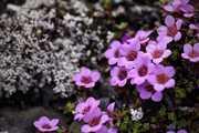 Fleurs du Svalbard, saxifrages à feuilles opposées