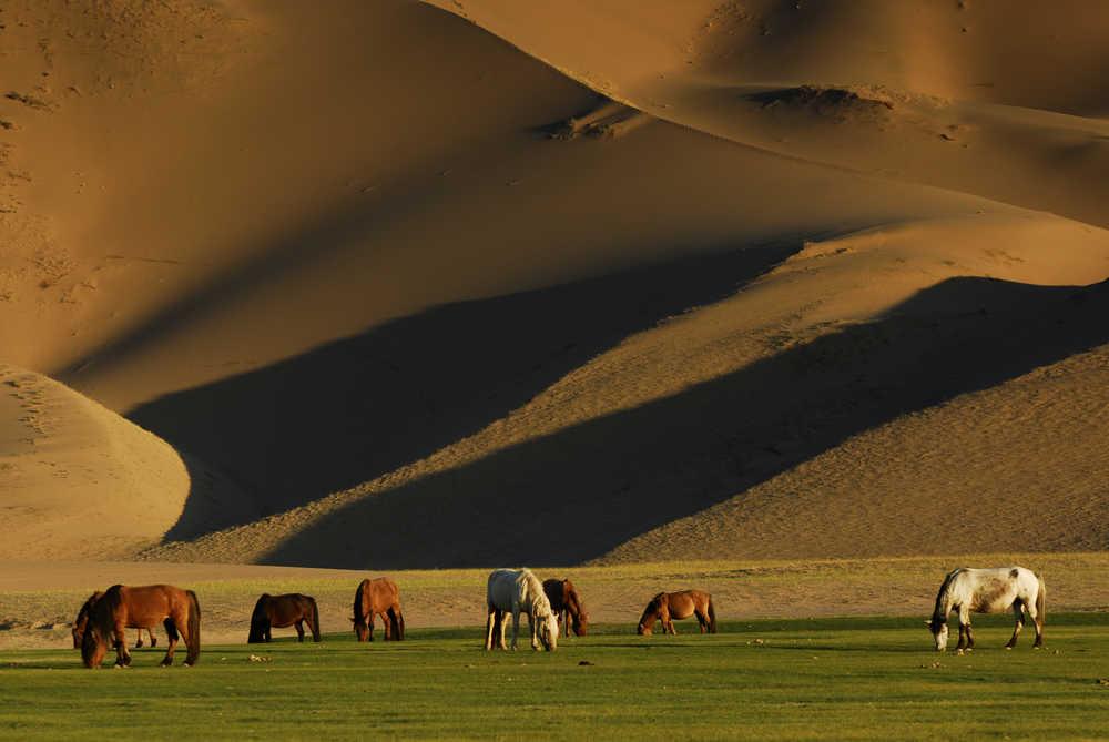 Chevaux dans la steppe mongole au coucher du soleil