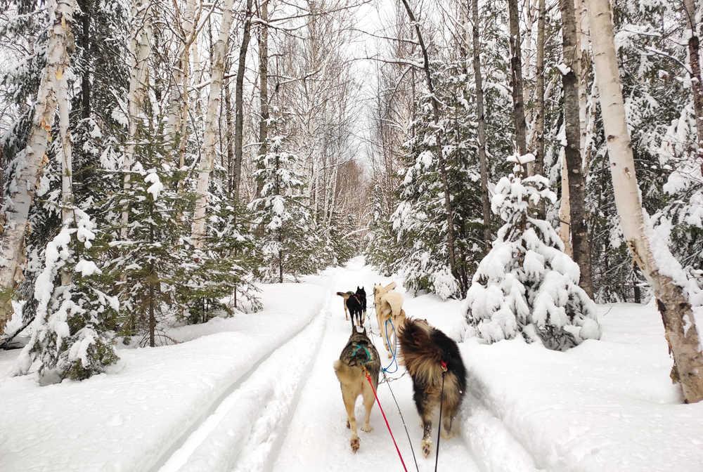 Chien de traîneau dans la forêt boréale du Québec