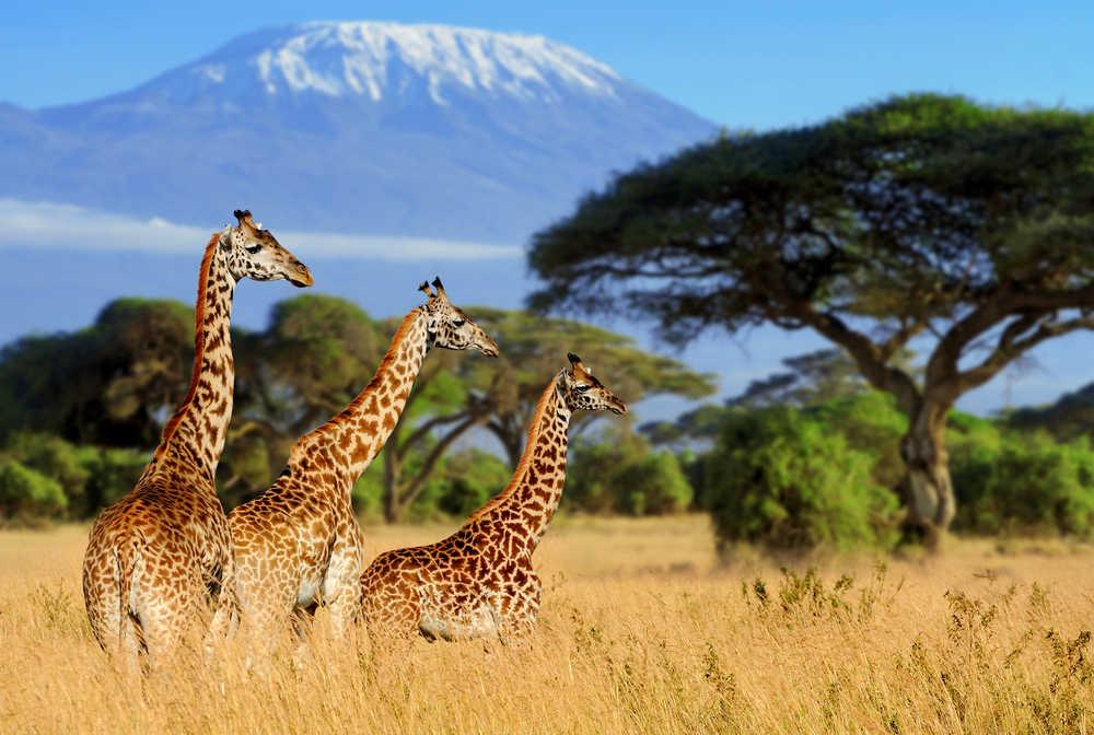 Girafes devant le Kilimandjaro