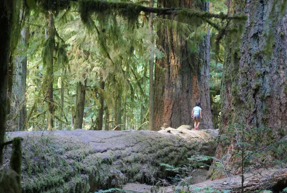 Immenses sapins de Douglas à Cathedral Grove sur l'île de Vancouver