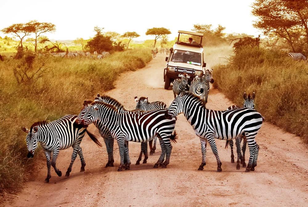 Zèbres sur la route dans le parc national de Serengeti