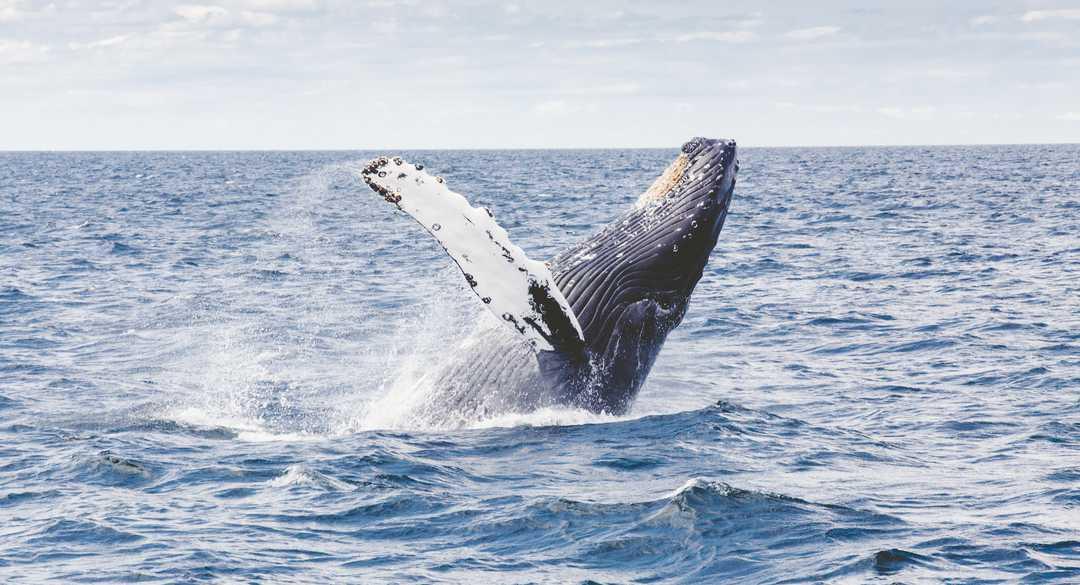 Saut de Baleine à bosse