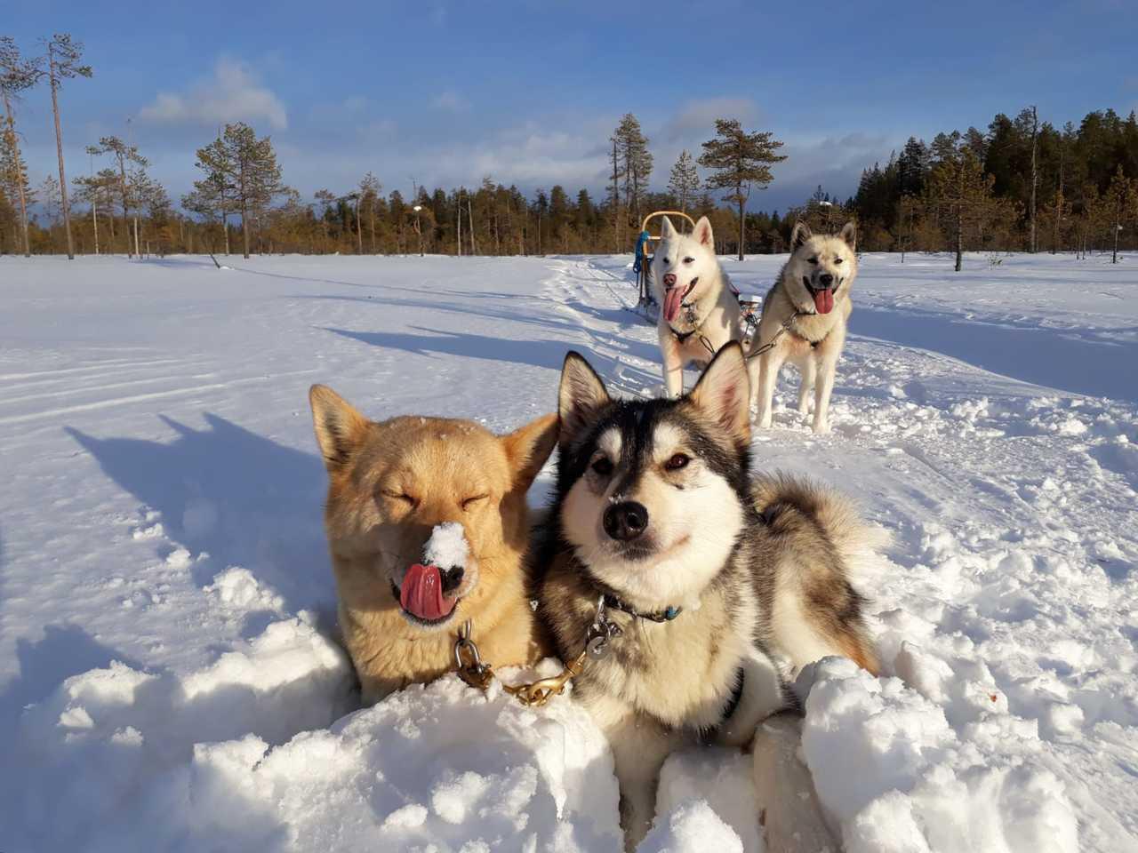 Alaskan huskies en Finlande