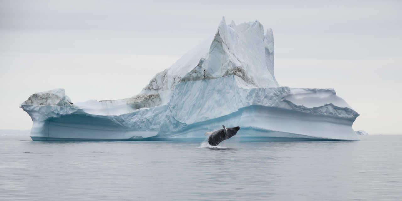 Photo d'une baleine qui saute, Groenland