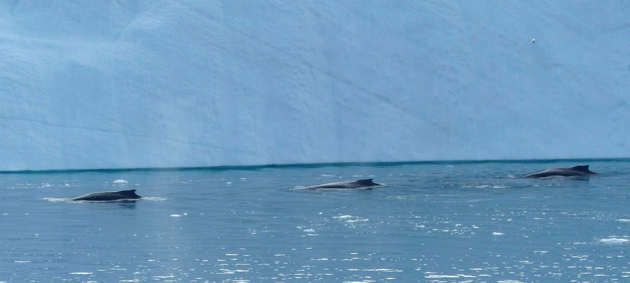 Baleine en baie de Disko