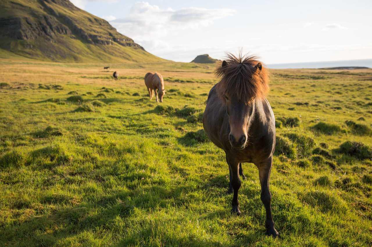 Chevaux islandais l'été