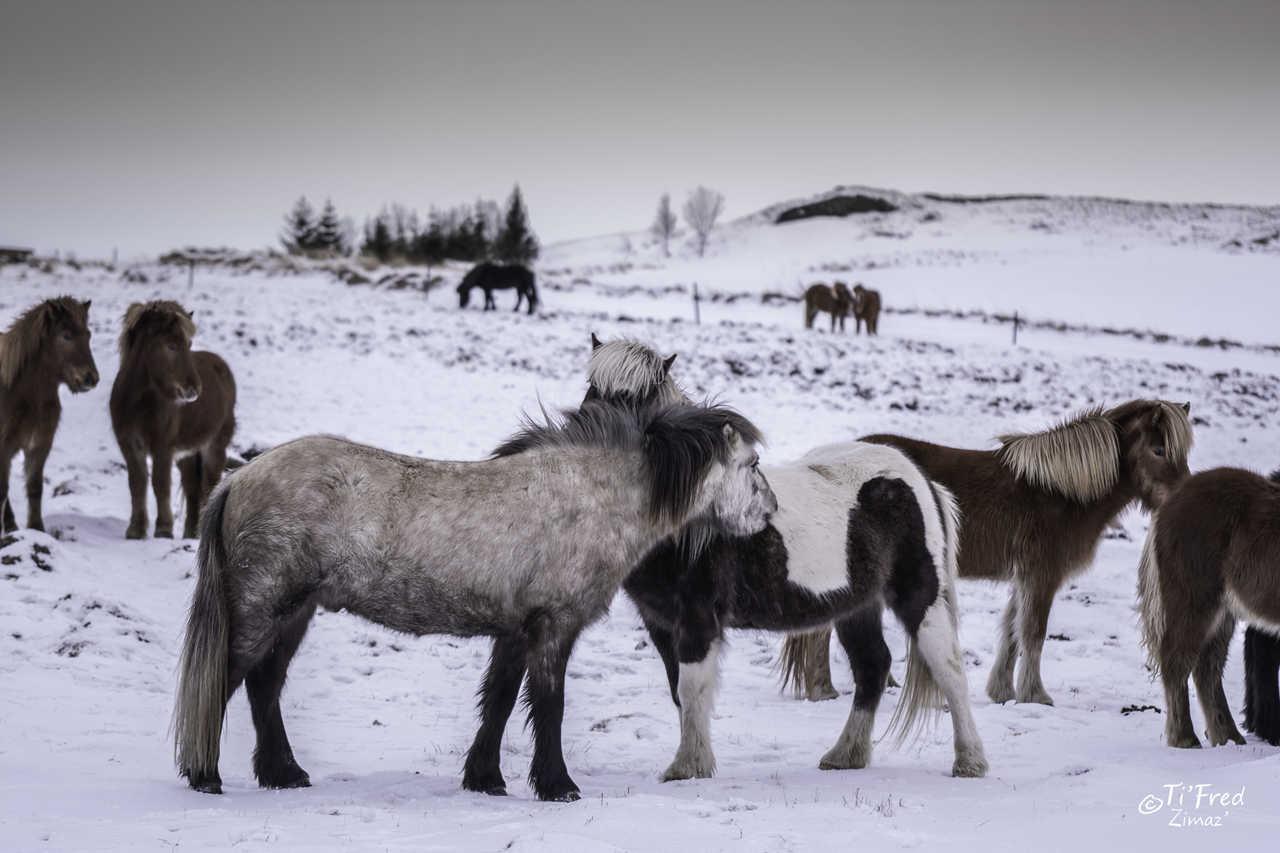 Chevaux islandais pendant l'hiver