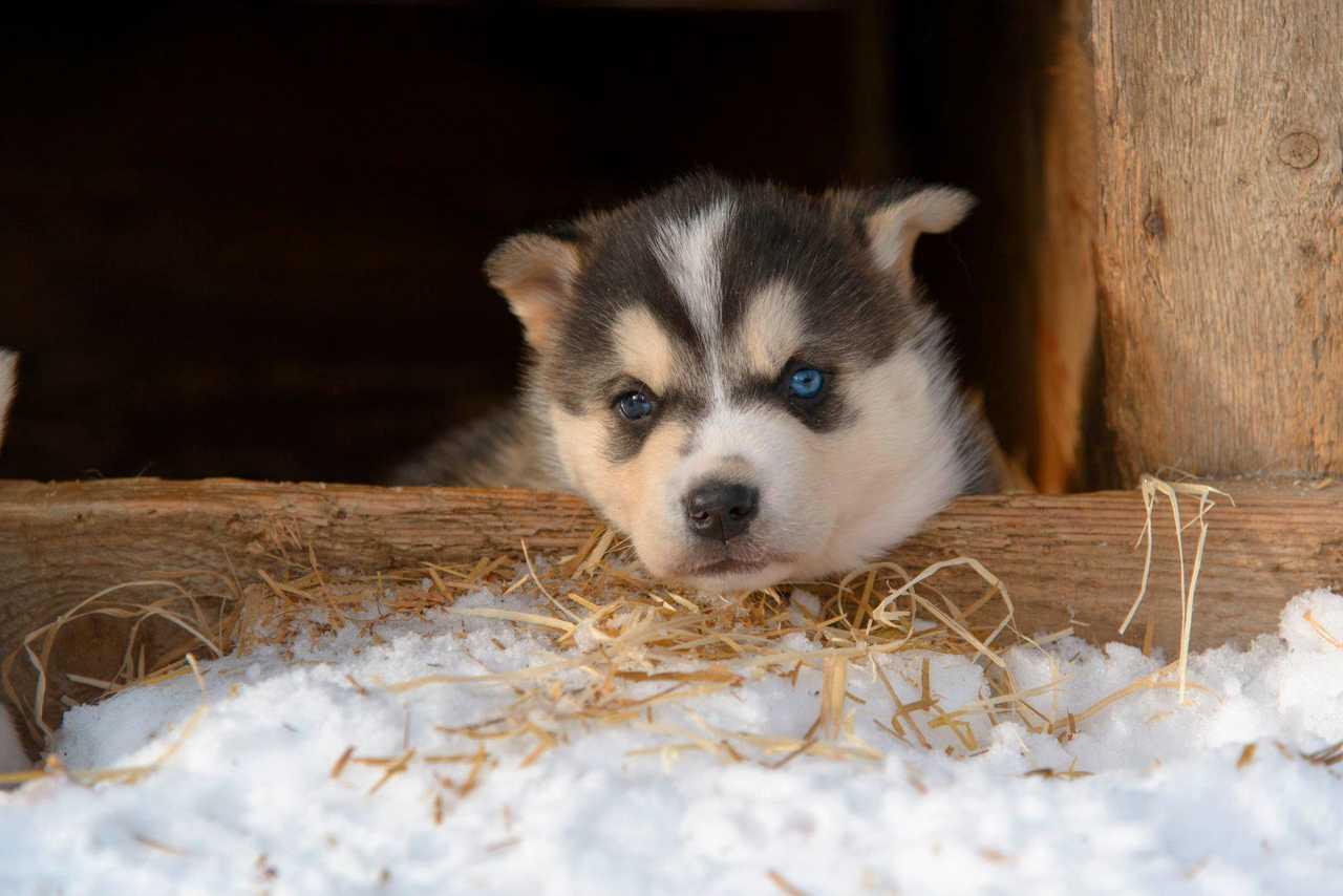 Chiot husky Finlande