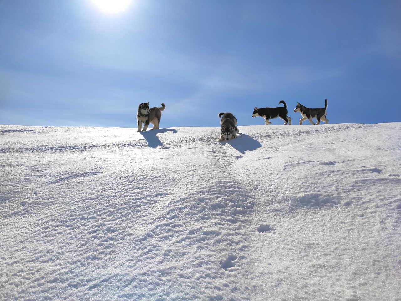 Chiots huskies au Canada