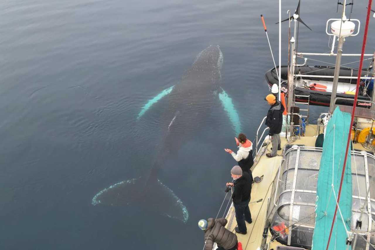 Photo d'une baleine depuis le voilier Spirit of Sydney