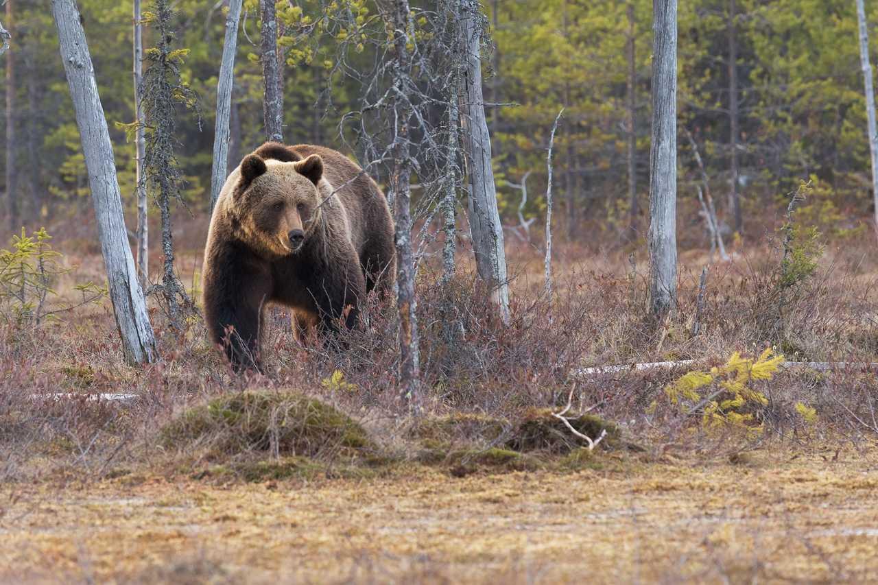 Photo d'un grizzli