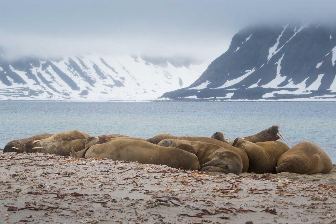 Groupe de morses au Spitzberg, Arctique