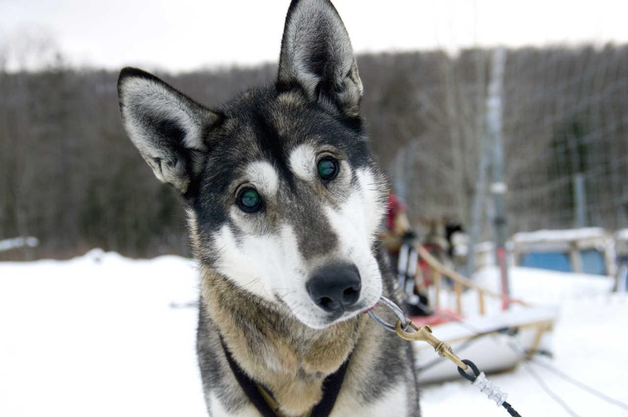 Husky au Canada