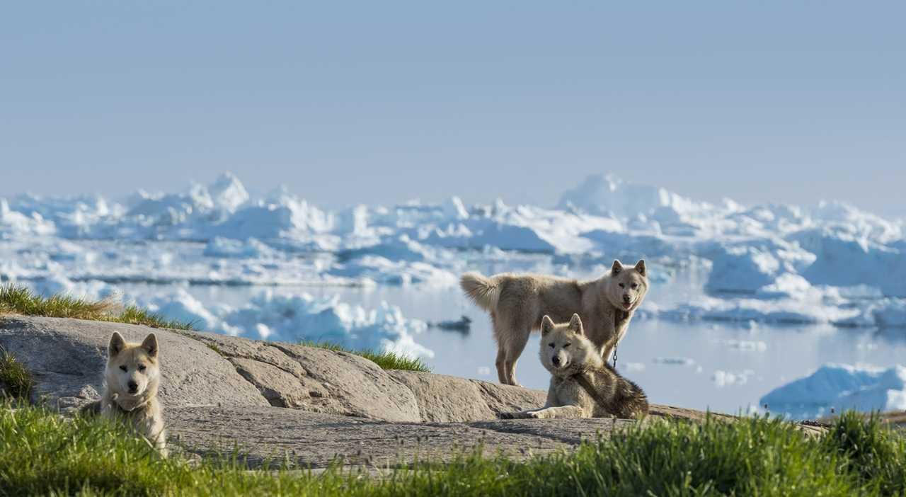 Husky au Groenland