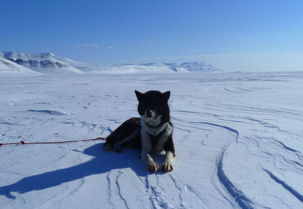 Husky, chien de traineau arctique