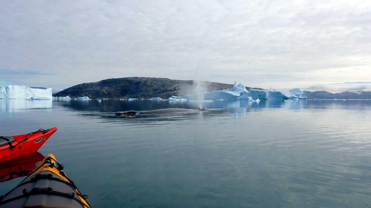 Kayak et baleine au groenland
