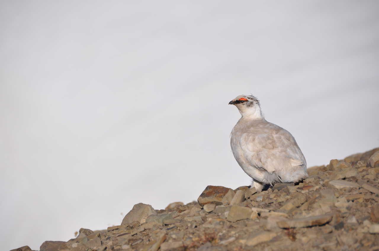 Lagopède au Svalbard
