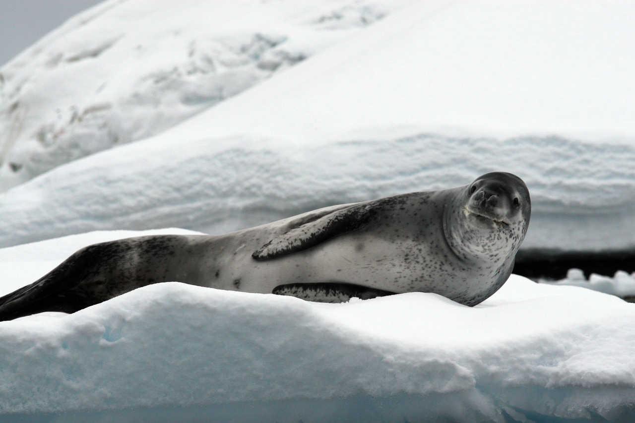 Léopard des mers sur un iceberg en Antarctique