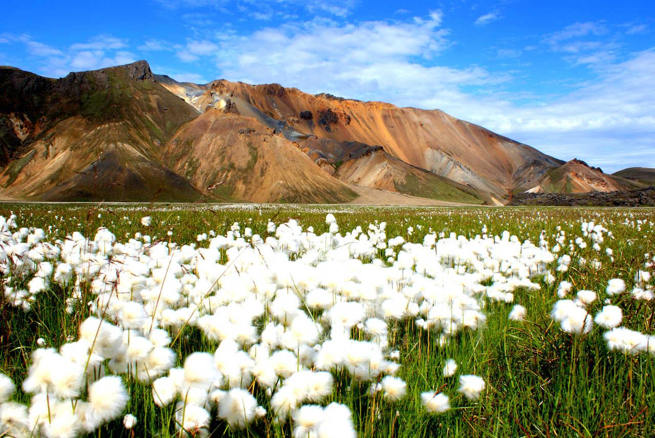 Linaigrette d'Islande