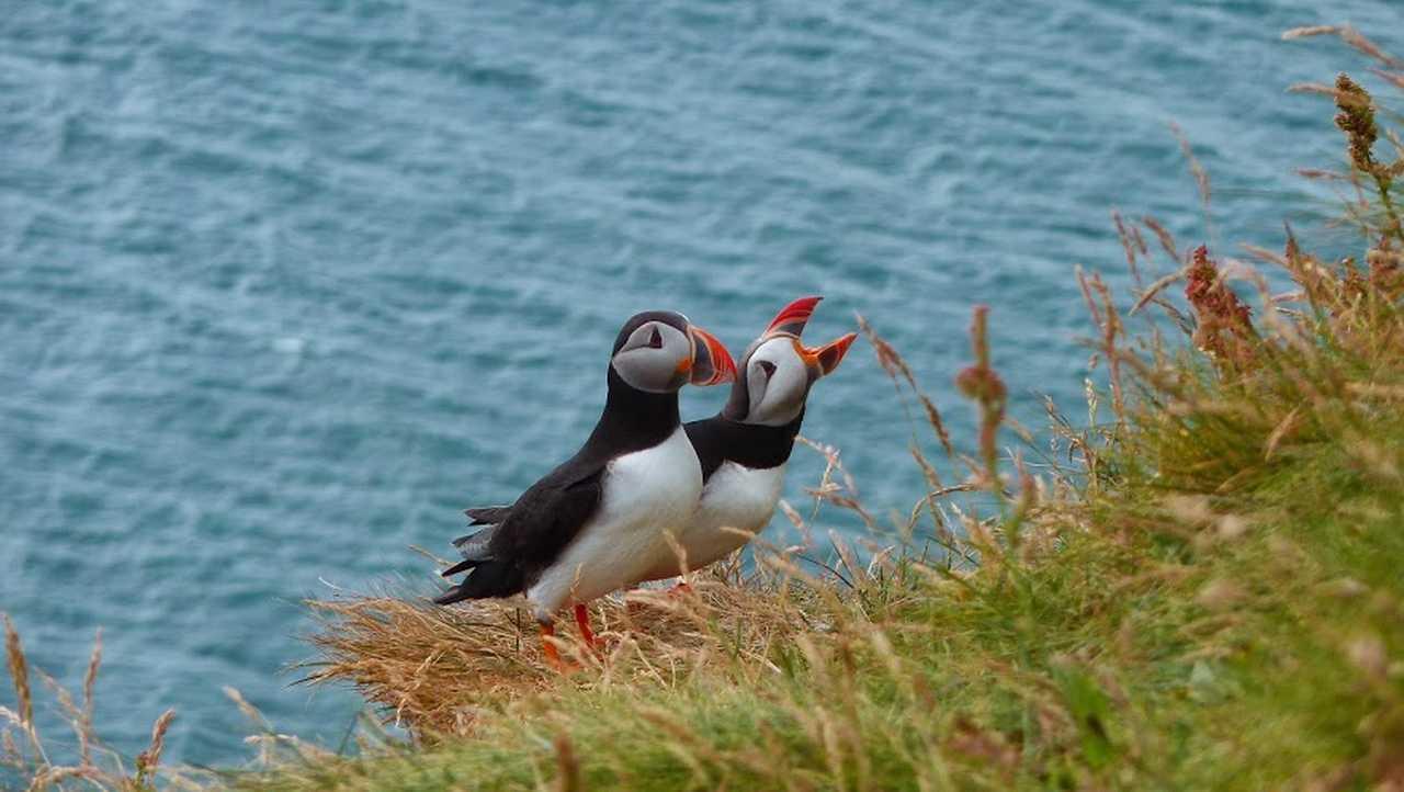 Macareux moine, voyage en Islande