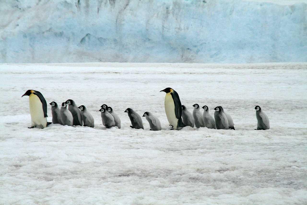 Manchots empereurs et leurs bébés en Antarctique