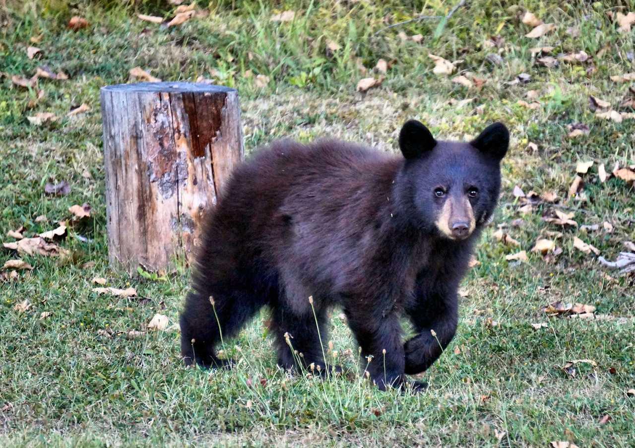 Observation d'ours noirs au Québec