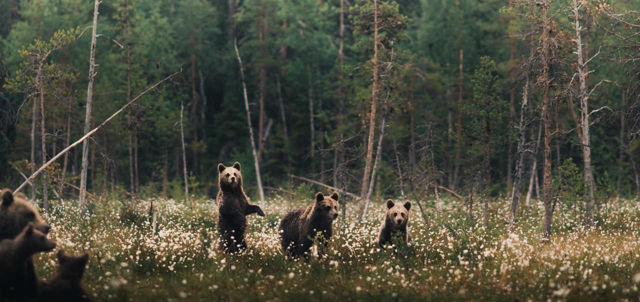 Observation ours bruns Finlande