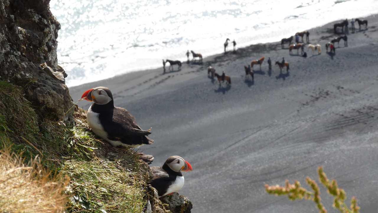 Observer des macareux moine en Islande