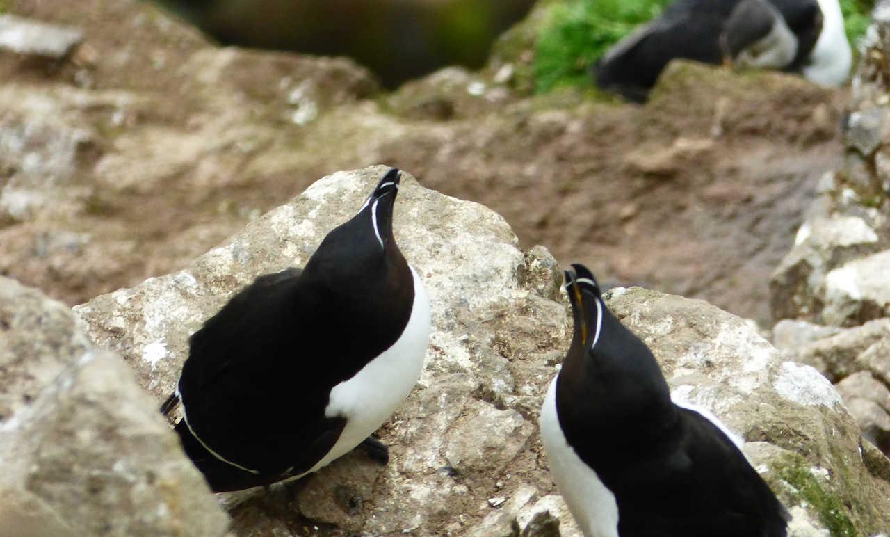 oiseaux d'Islande