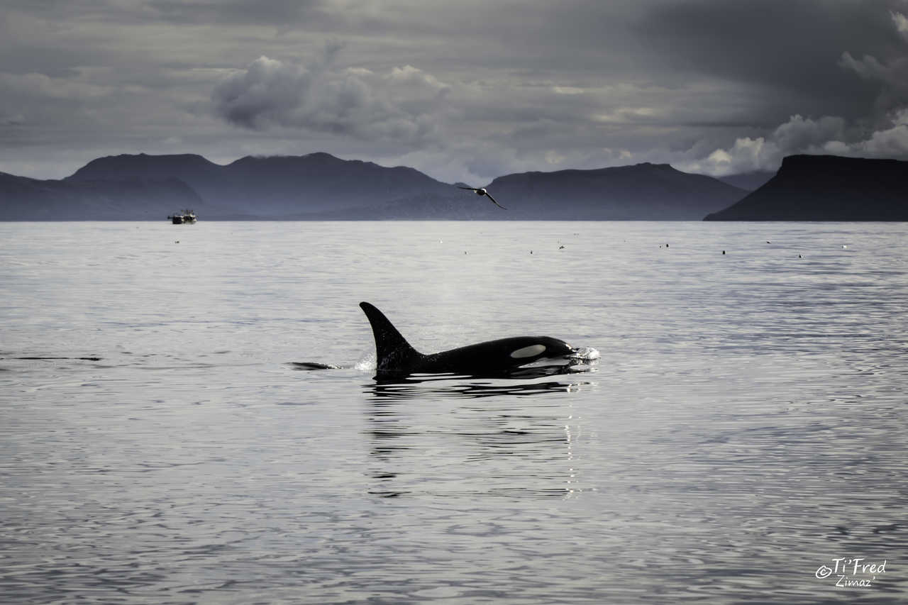 Observation d'orques en Islande pendant un safari baleines