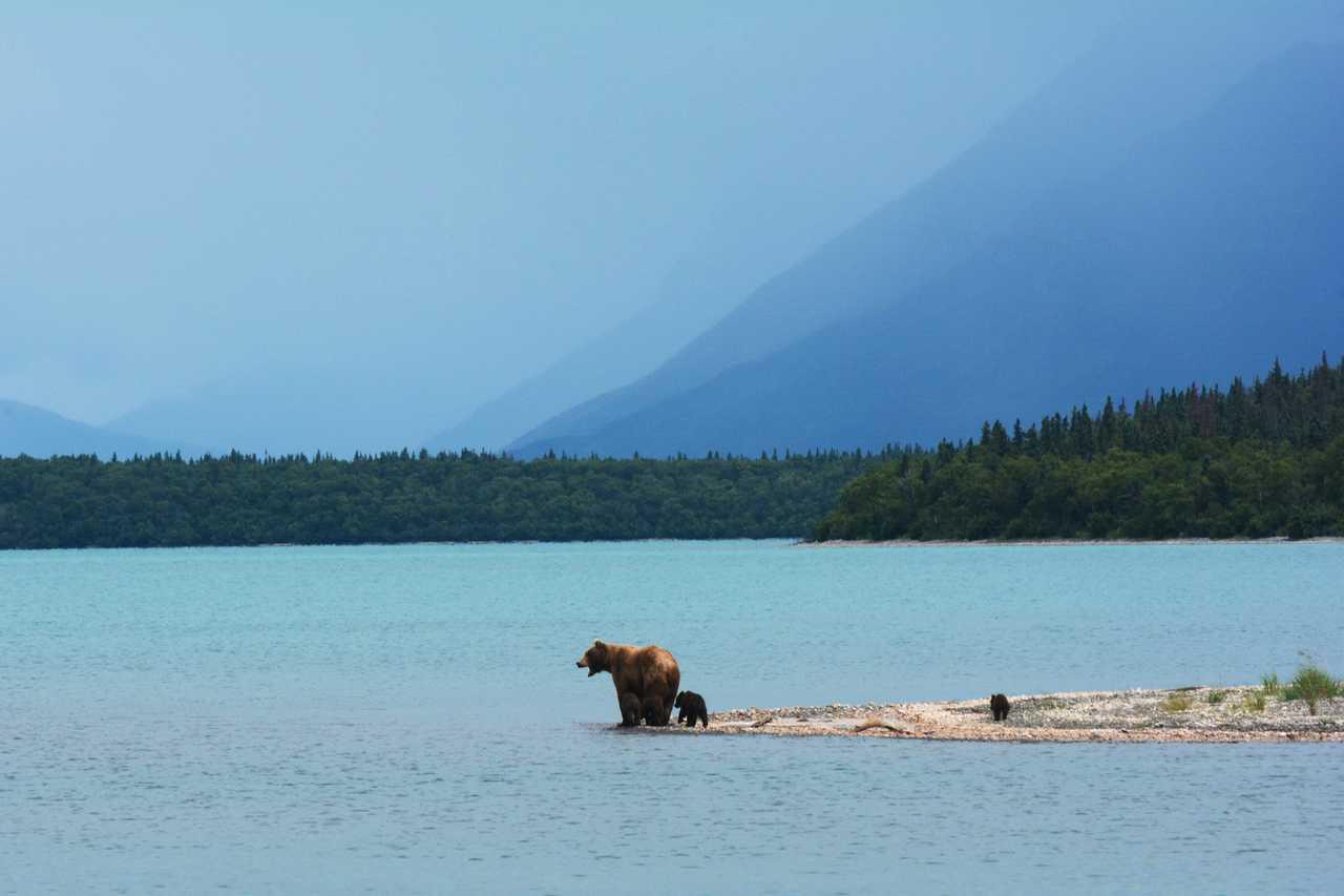 Photo d'un ours brun Alaska
