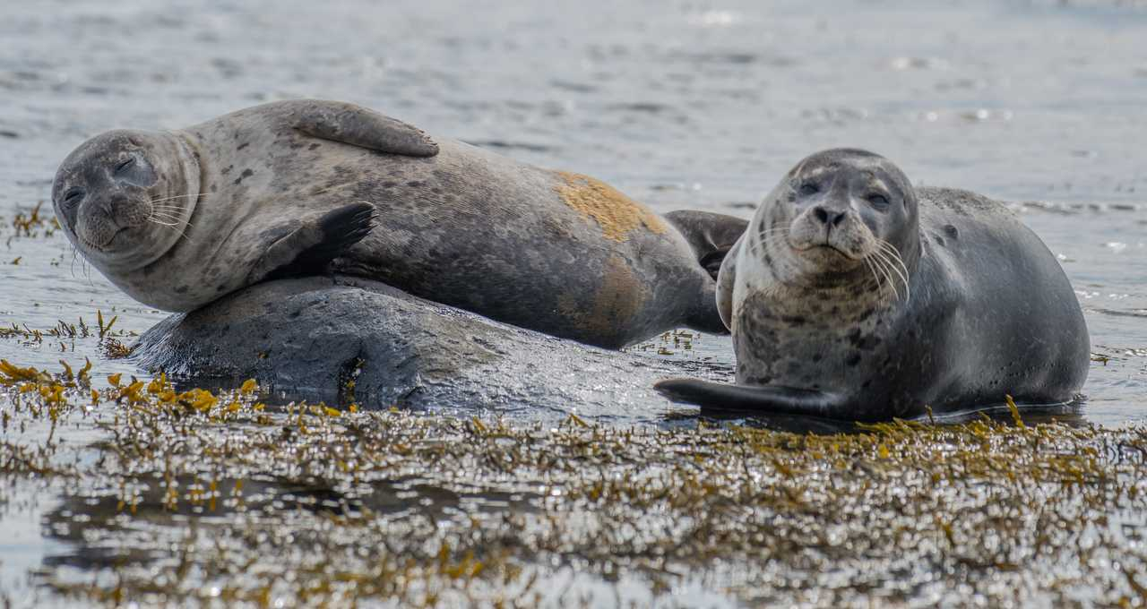 Phoques en Islande