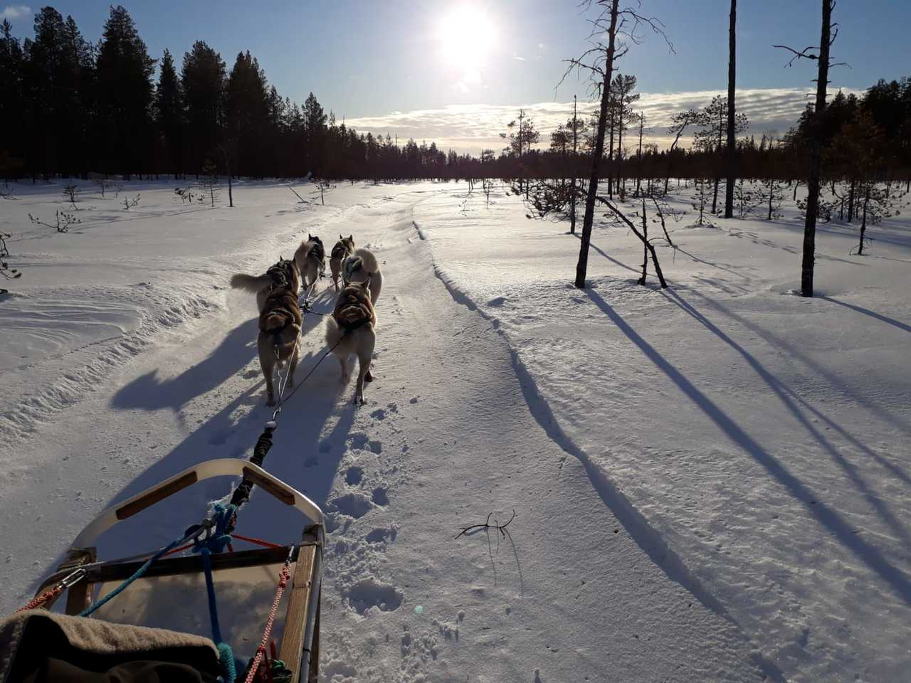 Raid chien de traineau en Finlande