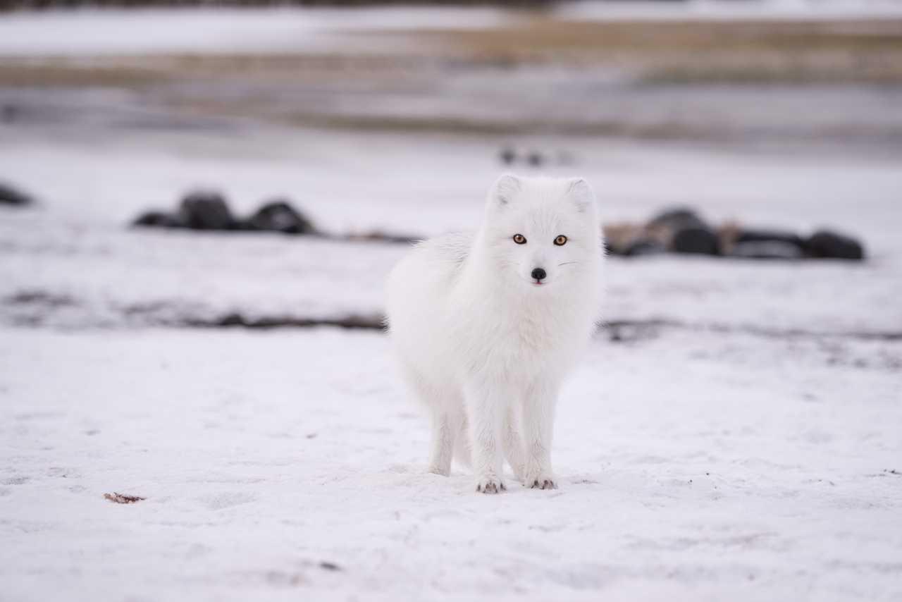 Renard arctique en Islande