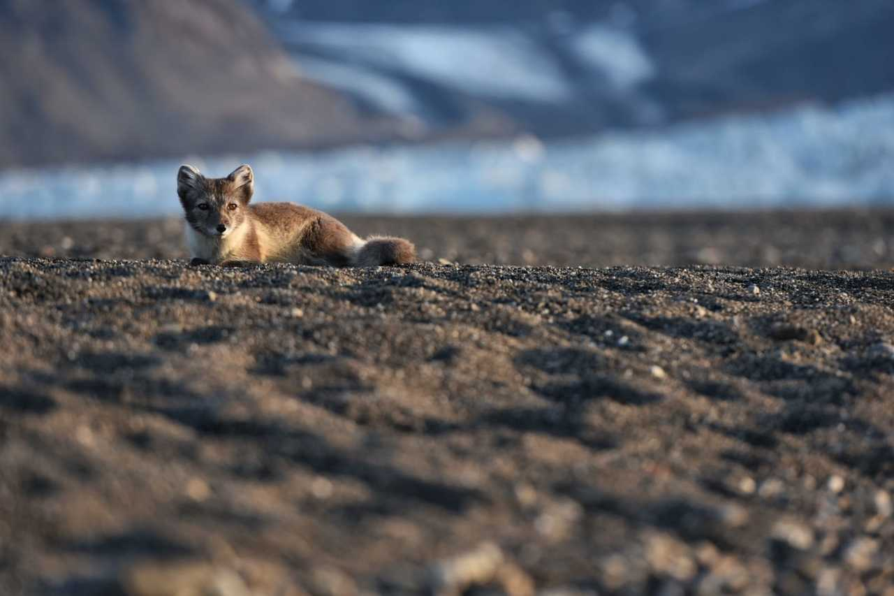 Renard polaire, Svalbard