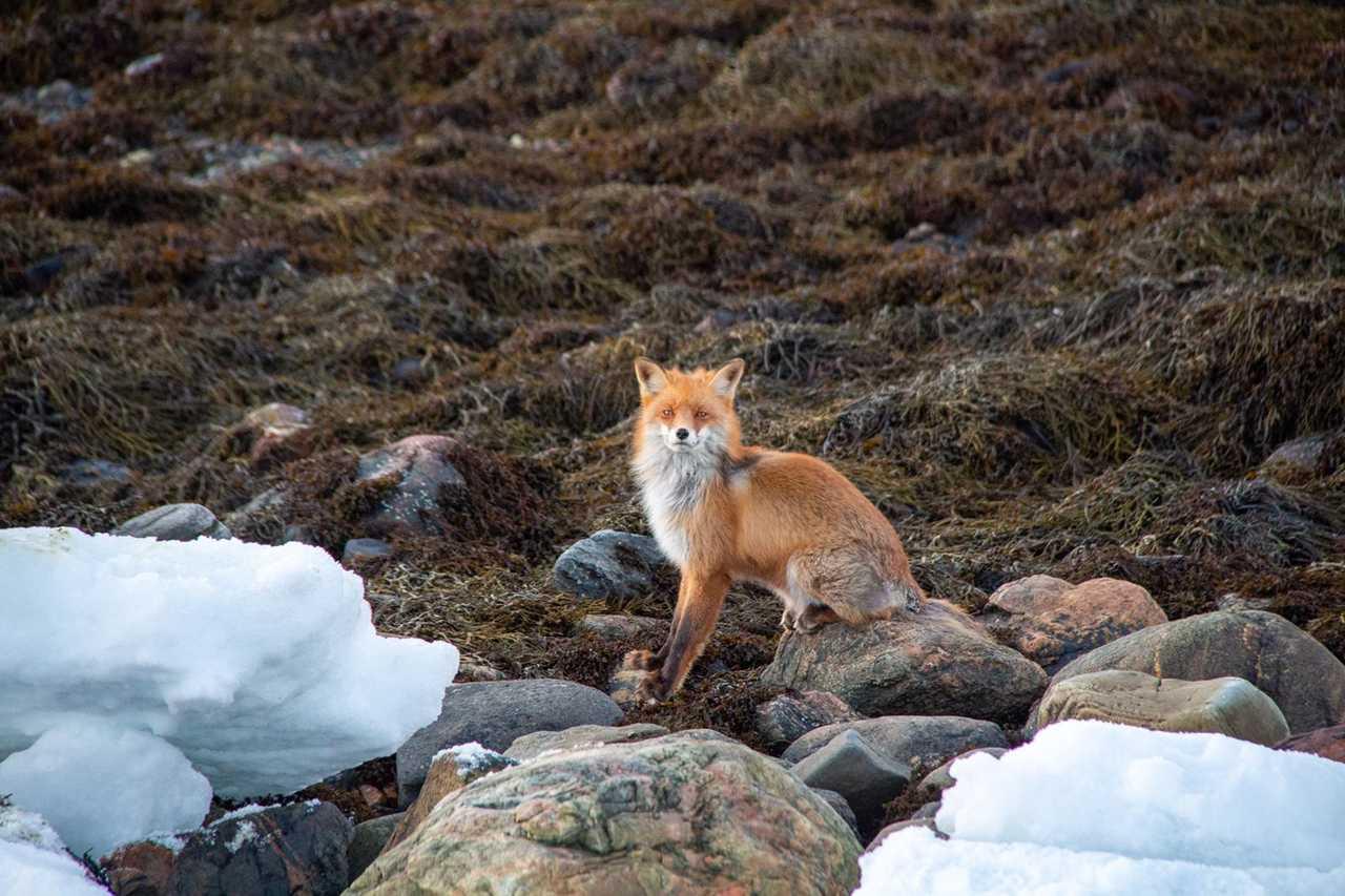 Renard roux observé aux îles Lofoten en Norvège par notre groupe