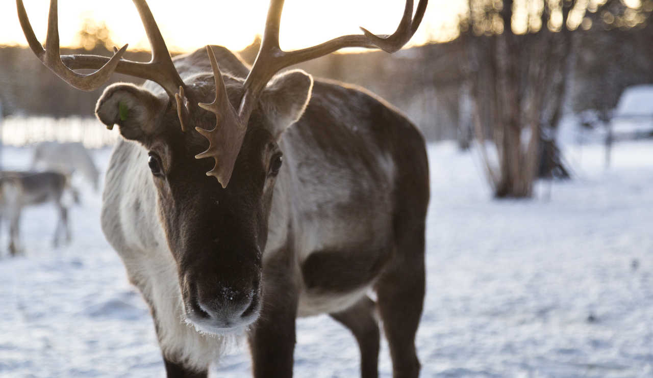 Renne de Finlande l'hiver