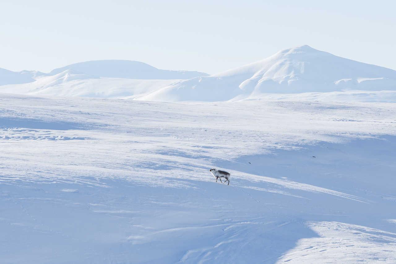 Renne du Svalbard en hiver