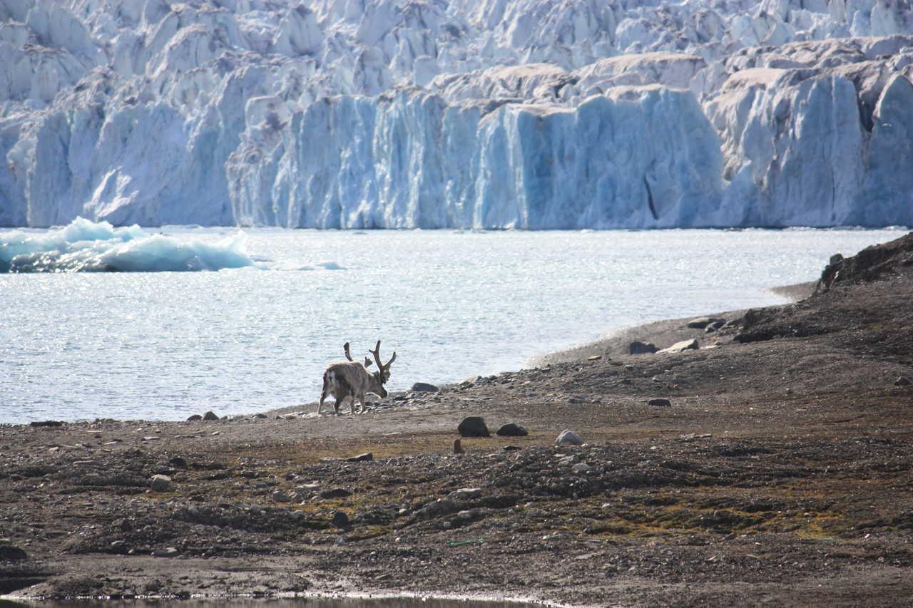 Renne sauvage en Arctique
