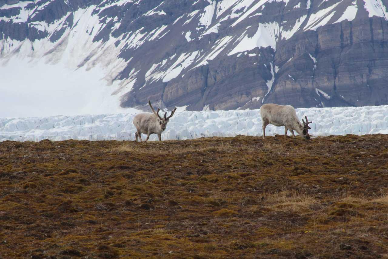 Rennes du Svalbard dans la toundra
