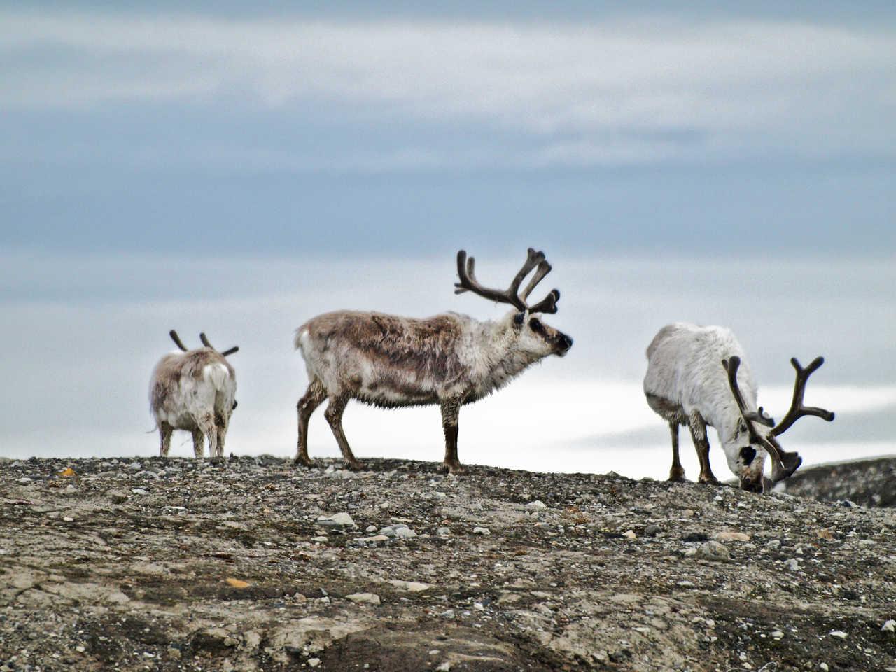 Rennes sauvages en Arctique