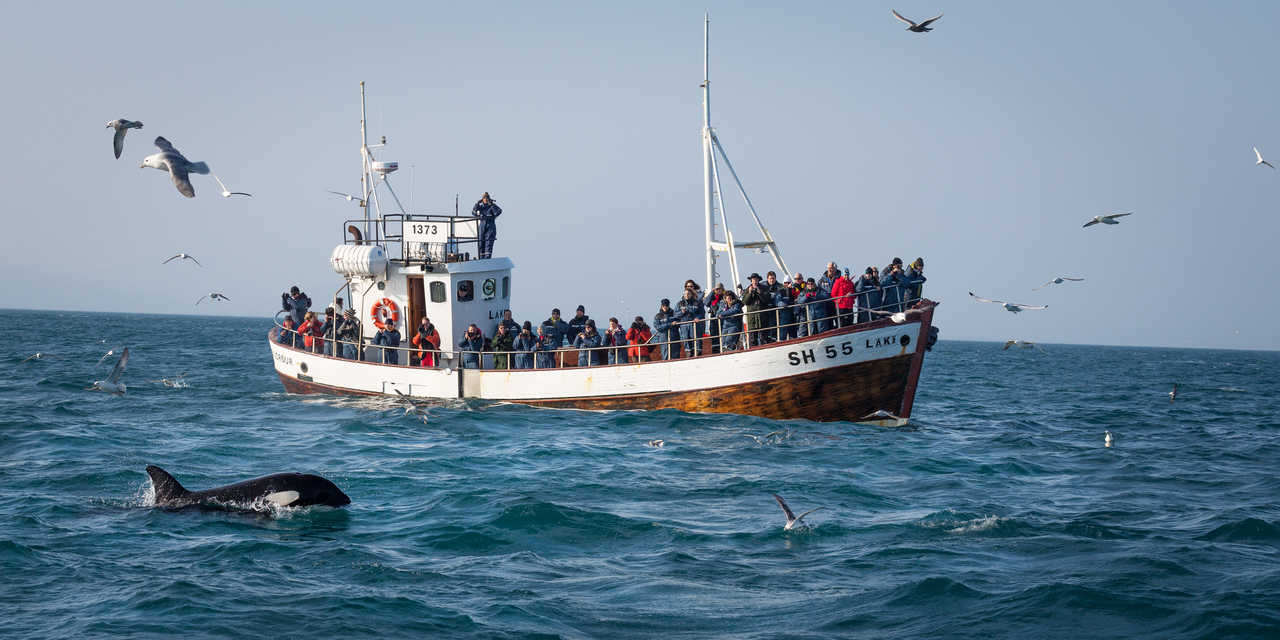Safari baleine, observation d'orques
