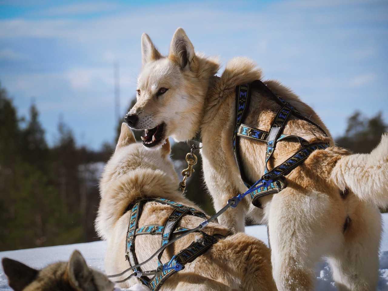 Huskies en Finlande, Laponie