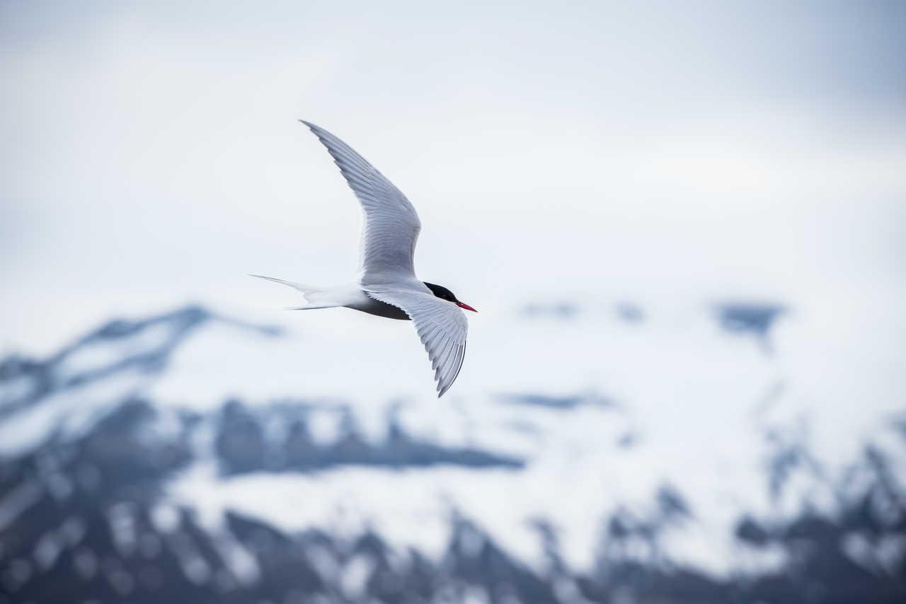 Sterne arctique au Svalbard