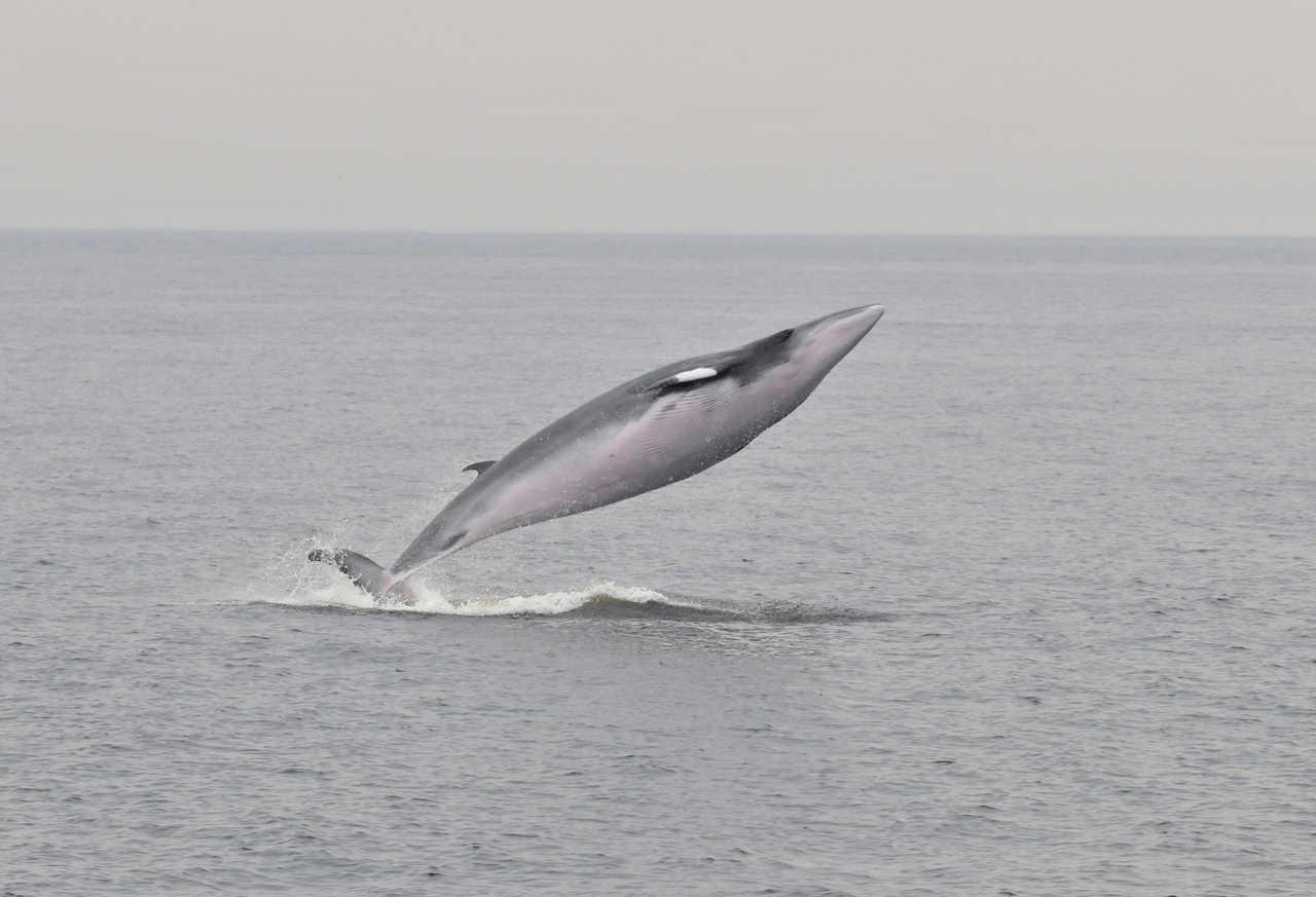 Observation de baleines, saut d'un petit rorqual au Canada