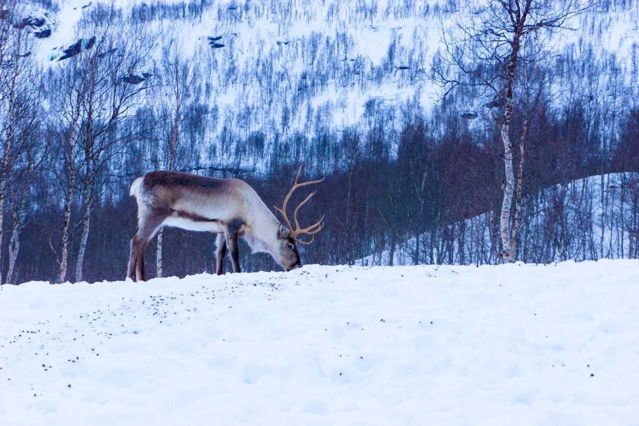 Photo d'un renne lors d'un voyage en Norvège