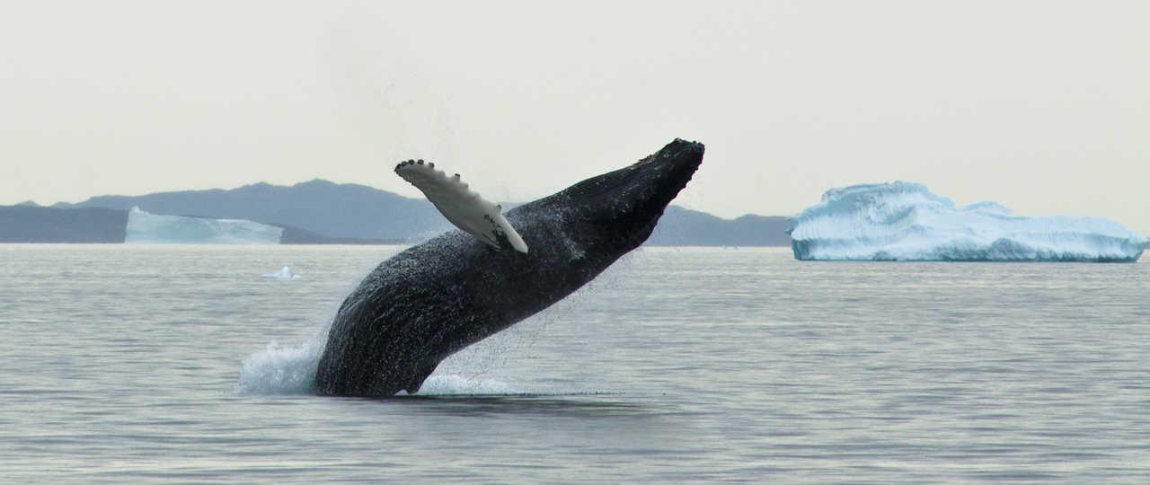 Photo d'un saut de baleine, Groenland