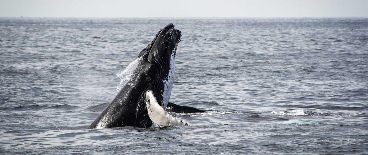 Baleine à bosse au Canada