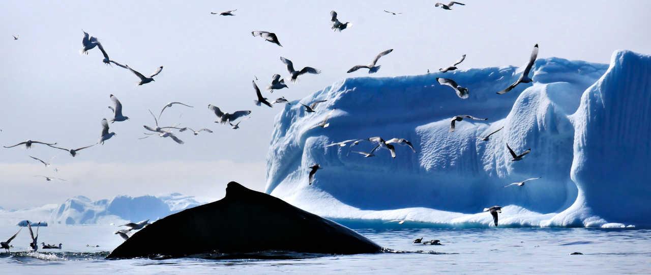 Baleine à bosse au Groenland